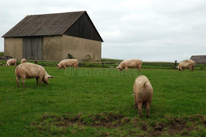 De dieren van het landbouwbedrijf - Varkens royalty-vrije stock afbeelding