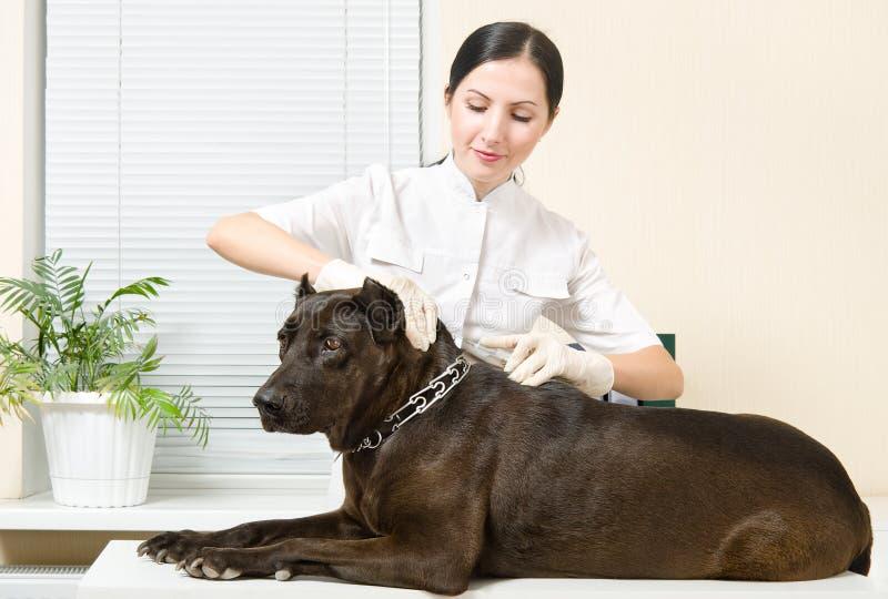 De dierenarts maakt een injectiehond royalty-vrije stock foto