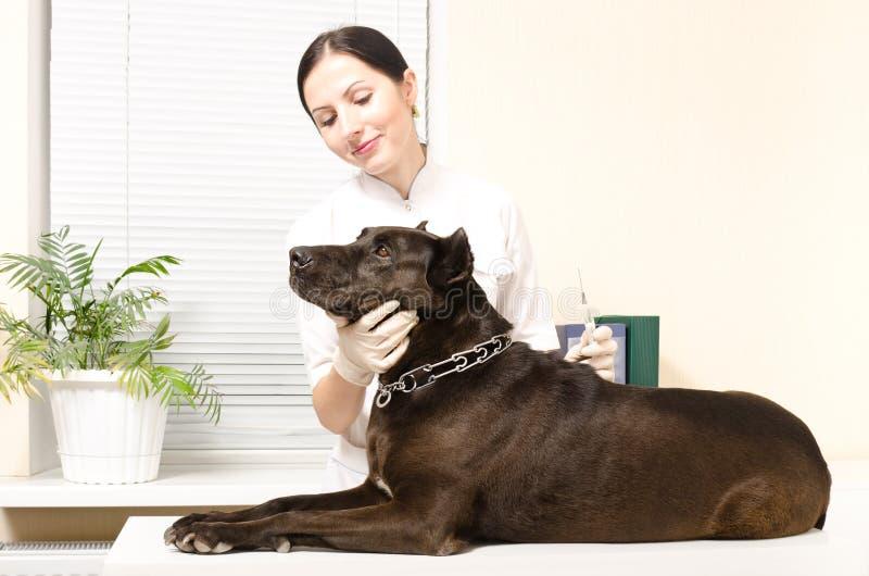 De dierenarts maakt een injectiehond royalty-vrije stock foto's