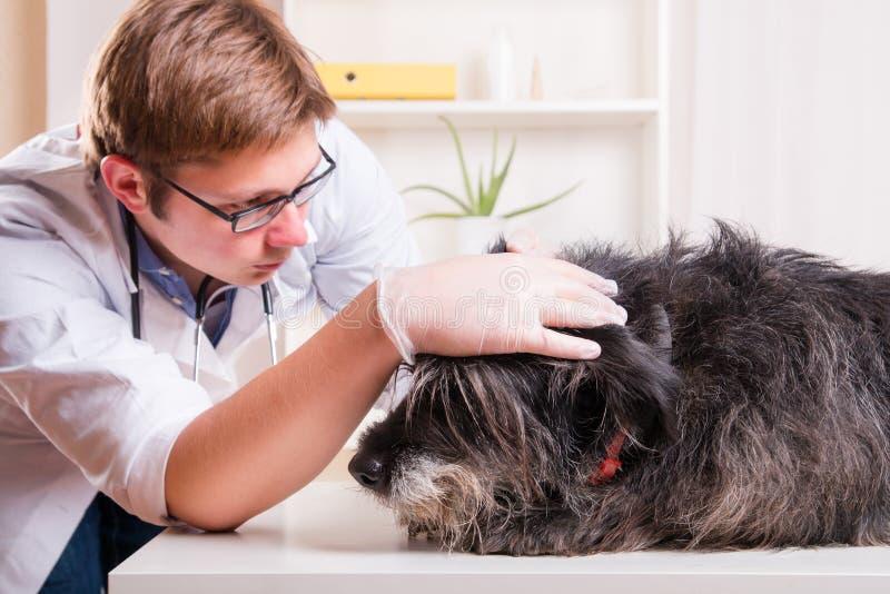 De dierenarts onderzoekt de oren van de hond in het bureau stock afbeelding