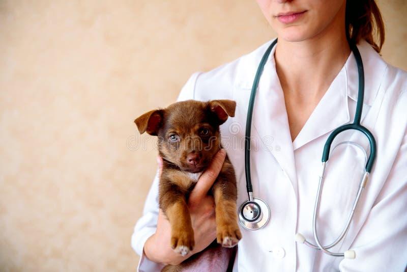 De dierenarts onderzoekt een puppy in het ziekenhuis de kleine hond gekregen ziek puppy in de handen van een veteraan arts stock afbeelding