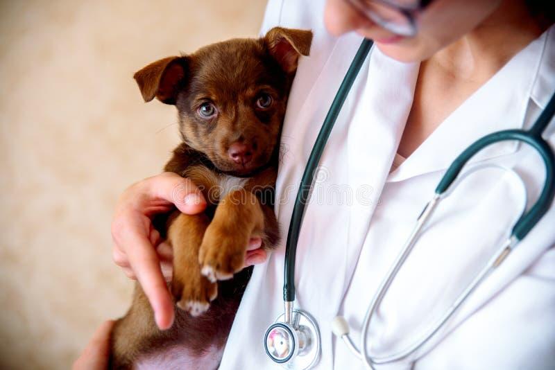 De dierenarts onderzoekt een puppy in het ziekenhuis de kleine hond gekregen ziek puppy in de handen van een veteraan arts stock foto's