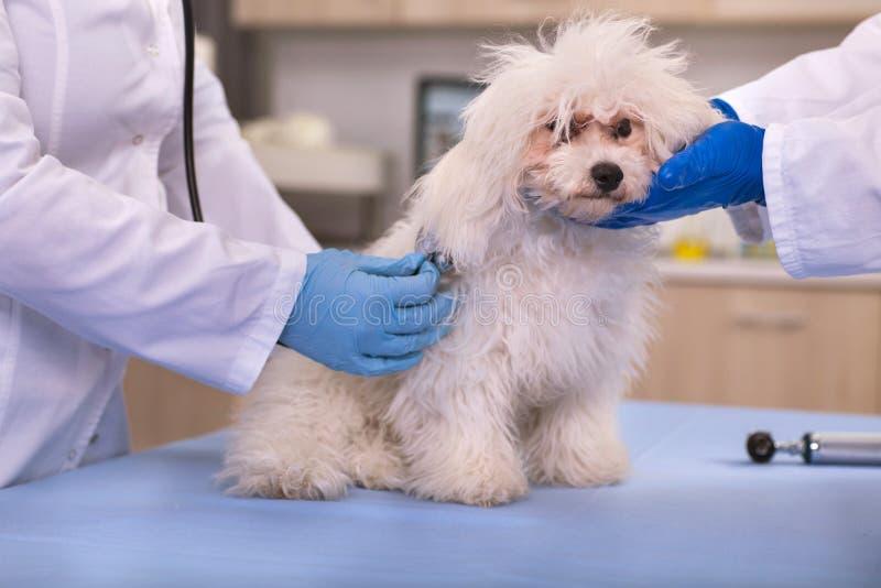 De dierenarts onderzoekt kleine hond in huisdierenkliniek, vroege opsporing en royalty-vrije stock afbeeldingen