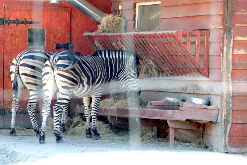 In de dierentuin, eten twee zebras royalty-vrije stock foto's