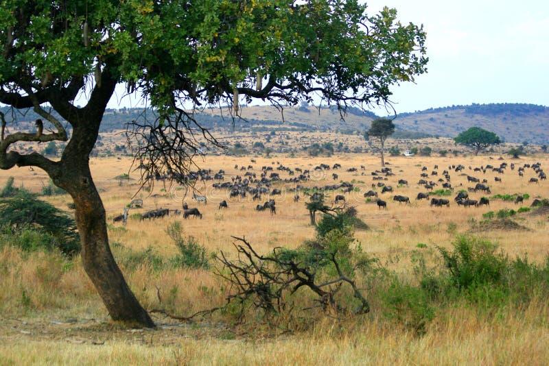 De Dierlijke Migratie van Maasai Mara van Kenia stock afbeeldingen