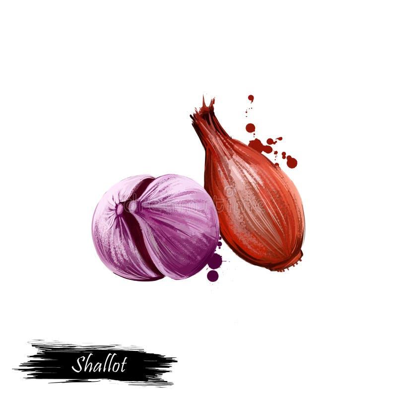 De digitale ui van de kunst Franse die Sjalot of Alliumcepa, aggregatum op witte achtergrond wordt geïsoleerd Organisch gezond vo stock illustratie