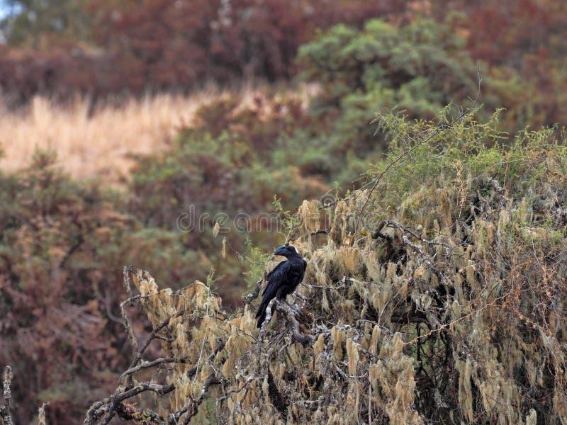 De dik-gefactureerde Raaf, Corvus-crassirostris, is een grote vogel, Siemen Mountain National Park, Ethiopi? royalty-vrije stock foto