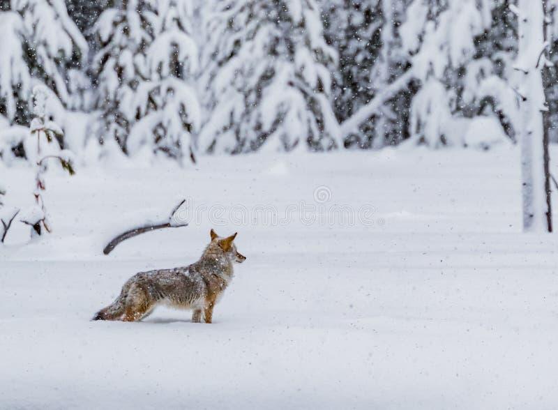 De dikke hulp van de de winterbontjas houdt coyote warm terwijl het jacht in Yellowstone royalty-vrije stock foto