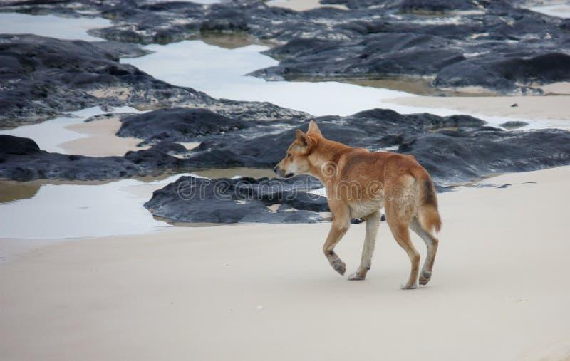 De Dingo van het Eiland van Fraser op strand stock foto's