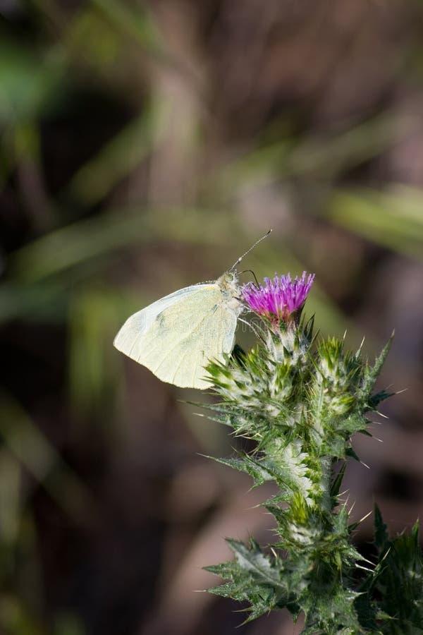 De distel van de vlinder stock foto's