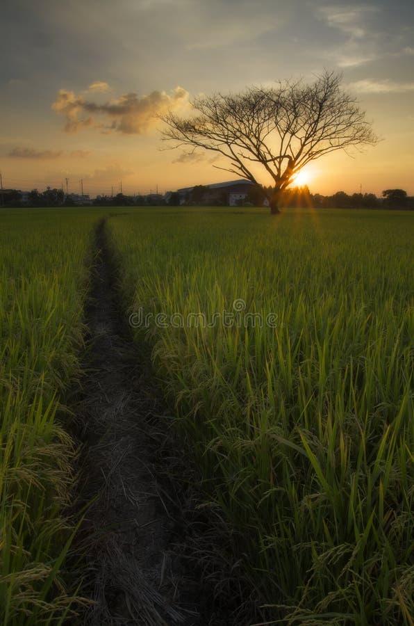 De dode boom in padieveld royalty-vrije stock afbeeldingen