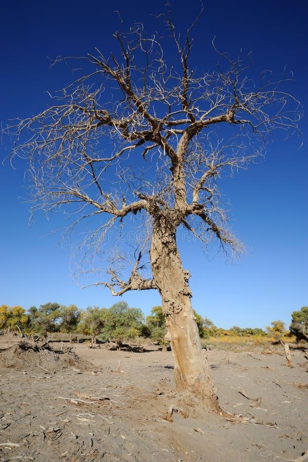 De dode boom van populuseuphratica stock afbeelding