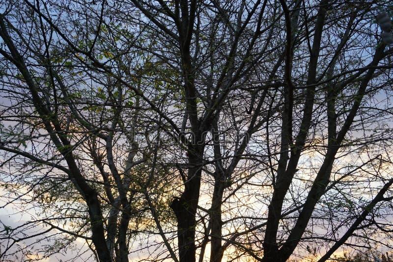 De dode boomillustratie, drogen en het ruien de boom op zonsondergangachtergrond stock afbeelding