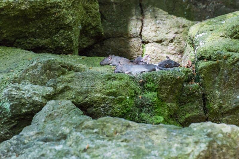 De dode muizen als voedsel voor roofdieren liggen op grote stenen royalty-vrije stock foto's