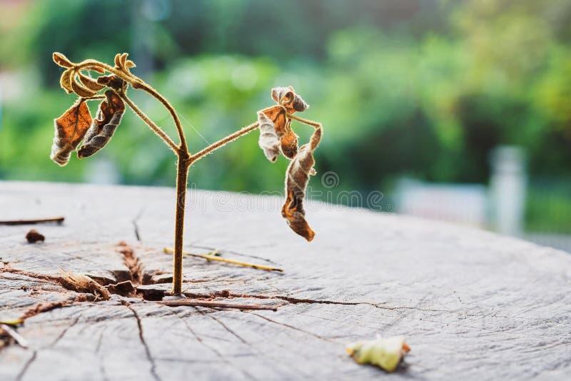 De doden van het sterke zaailing groeien in de boom van de centrumboomstam, nadruk op het nieuwe leven zijn dode niet in leven, C stock foto's