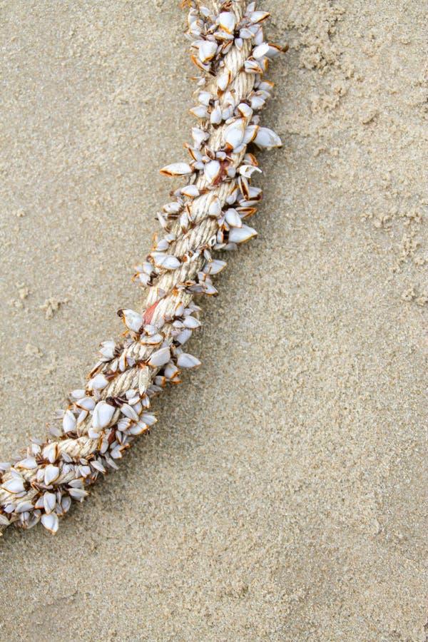 De de dofheidsgans of eendenmosselen op de grote kabel Wetenschappelijke naam zijn Lepas-anserifera stock afbeeldingen