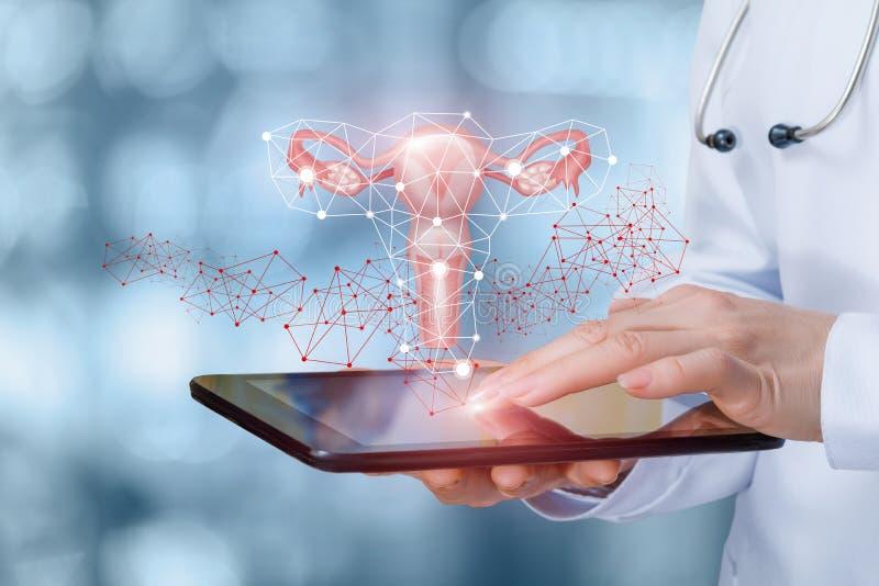 De dokter toont de baarmoeder van een wijfje royalty-vrije stock fotografie