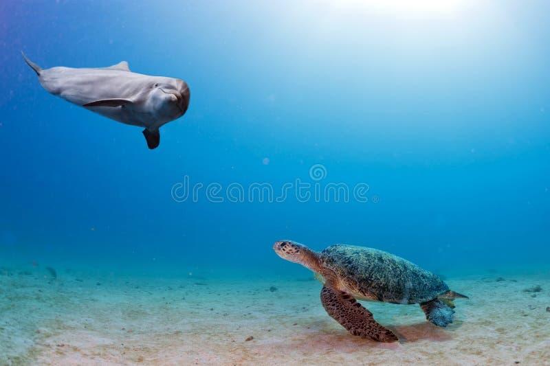 De dolfijn onderwater ontmoet een schildpad stock foto's
