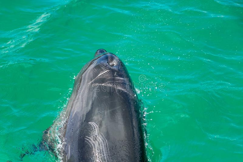 De dolfijn ontruimt Slaggat in Groen Water royalty-vrije stock afbeeldingen
