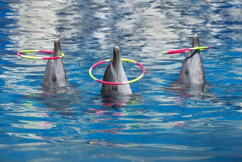 De dolfijn toont, speelt hoepels royalty-vrije stock foto