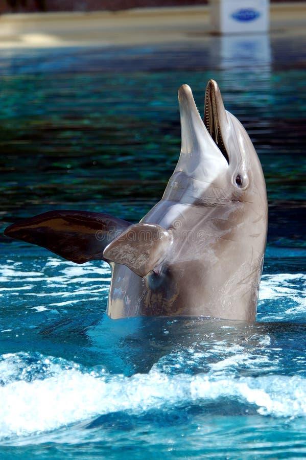 De Dolfijn van Bottlenose stock afbeelding