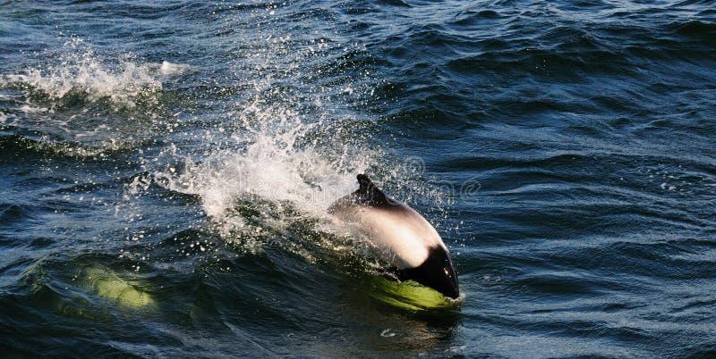 De Dolfijn van Commerson stock foto's
