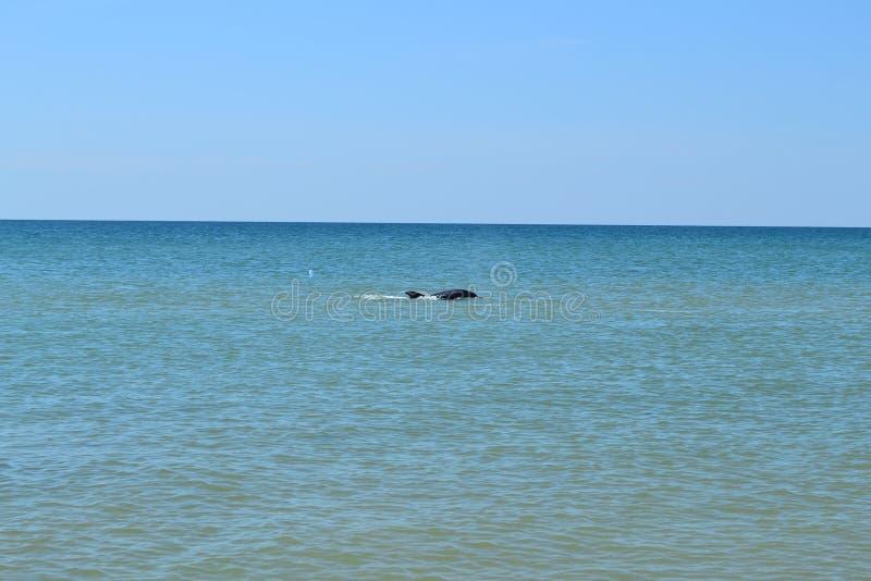 De dolfijn zwemt stock afbeelding