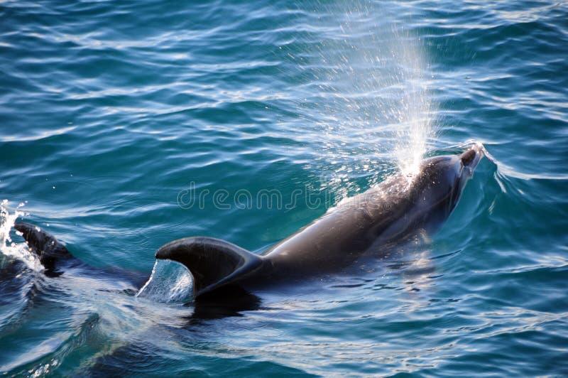 De Dolfijnen van Bottlenose stock afbeeldingen
