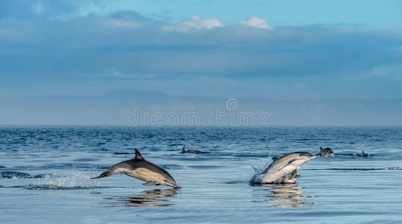 De dolfijnen zwemmen en springend Dolfijnen in de Oceaan stock afbeelding