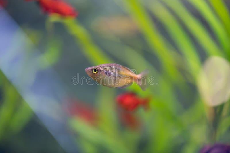De Donaciinae-neonvissen in het aquarium Melanotaenia precox FI royalty-vrije stock foto's