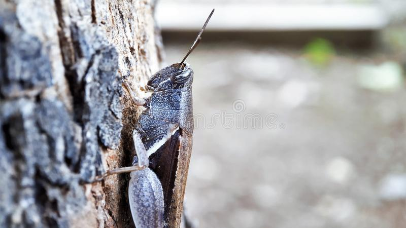 De donkere Bruine de meningszitting van het sprinkhanen halve lichaam op een boom concentreerde goed macro geschotene linkerkant royalty-vrije stock afbeeldingen