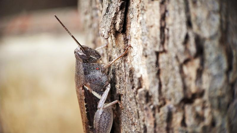 De donkere Bruine de meningszitting van het sprinkhanen halve lichaam op een boom concentreerde goed macro geschotene rechterkant royalty-vrije stock foto