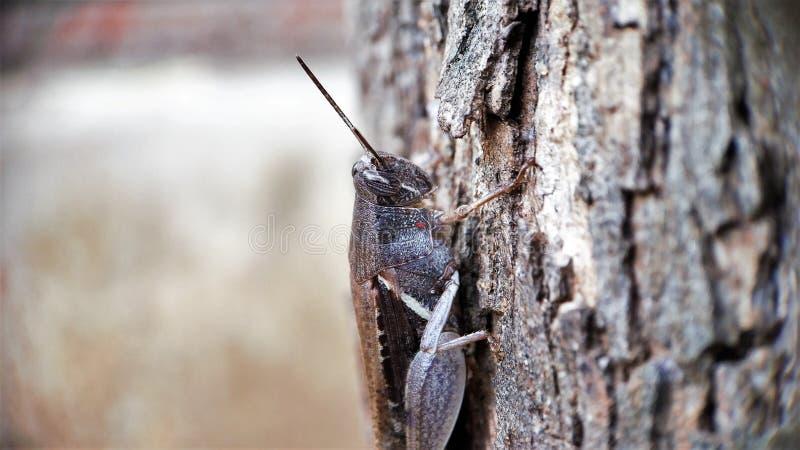 De donkere Bruine de meningszitting van het sprinkhanen halve lichaam op een boom concentreerde goed macrofotorechterkant stock foto