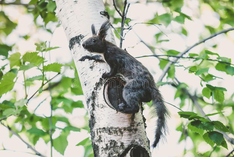 De donkere eekhoorn met pluizige oren zit op berkboom stock foto