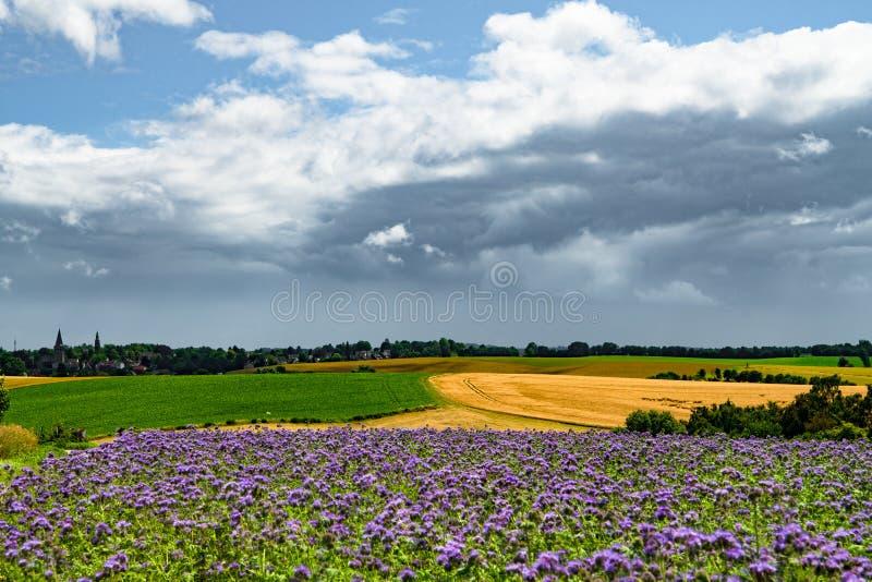 De donkere regenwolken over agrarische gebieden met tarwe, suikerbieten en phacelia, bijenvoedsel, purpere tansy, scorpionweed stock foto's