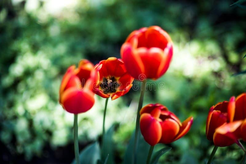 De donkeroranje favoriet van de tulpenwereld Darwin Hybrid Tulips stock foto's
