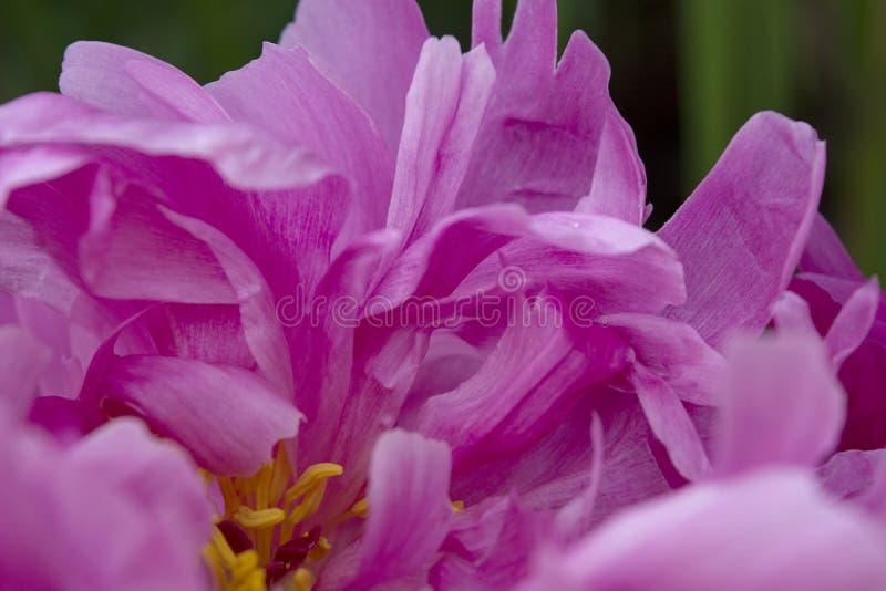 De donkerroze Bloemblaadjes van een Pioenbloem leiden tot een Abstract Patroon van Ingewikkeldheid en Schoonheid stock fotografie