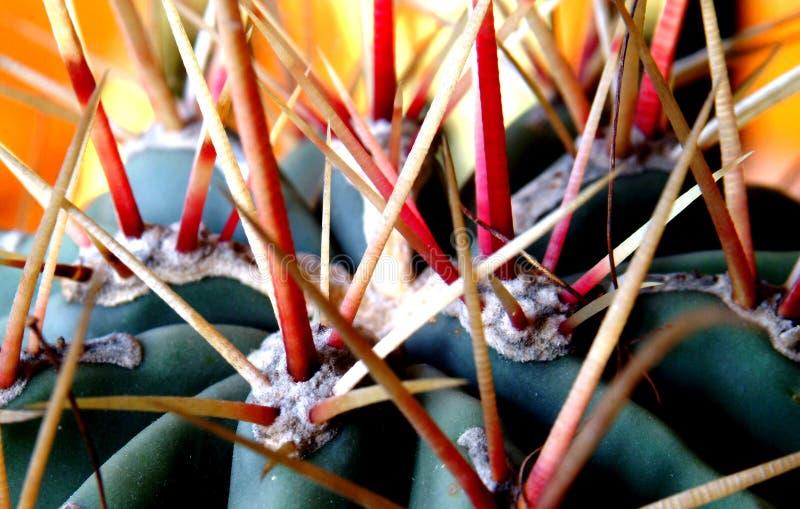 De doornen van de cactus stock foto