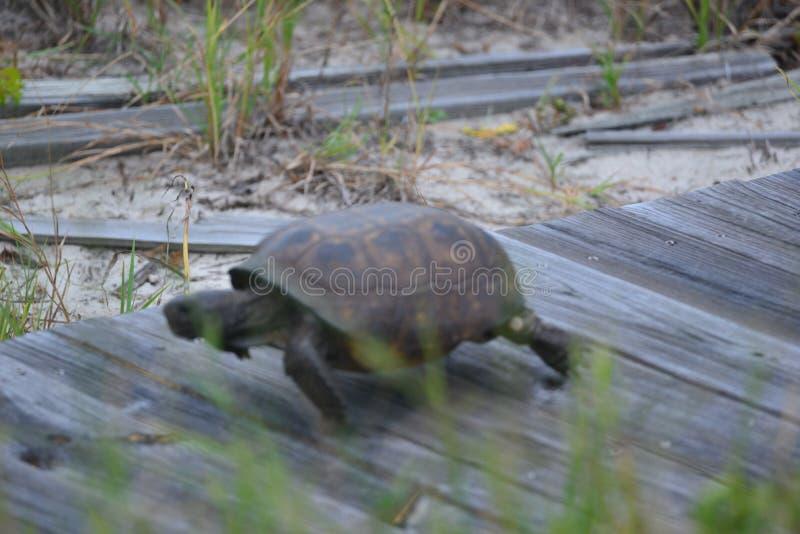 De doosschildpad vindt het lopen op de kunstmatige promenade die tot en van het strand leiden gemakkelijker te zijn dan oversteke royalty-vrije stock foto's