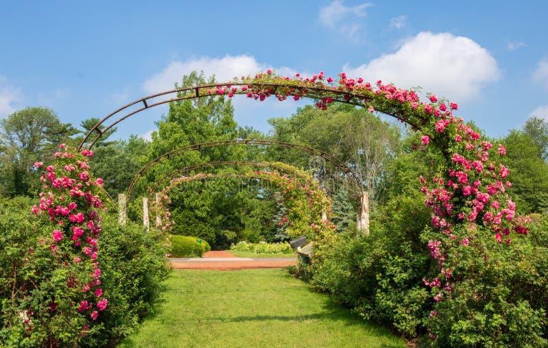 ` De Dorothy Perkins de ` de Rose en fleur sur les voûtes dans la roseraie d'Elizabeth Park image stock
