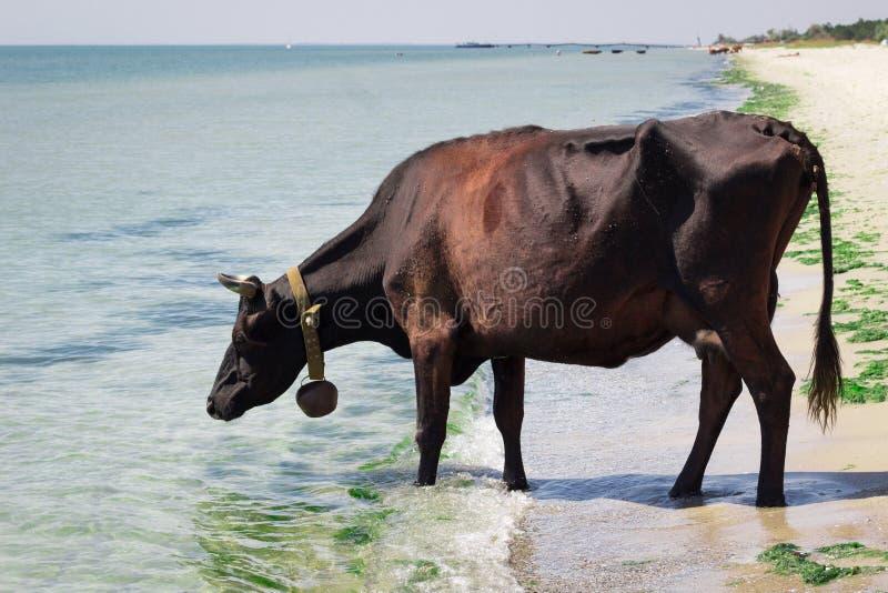 De dorstige binnenlandse gangen van de landbouwbedrijf rode zwarte koe op overzees strand drinkwater stock fotografie