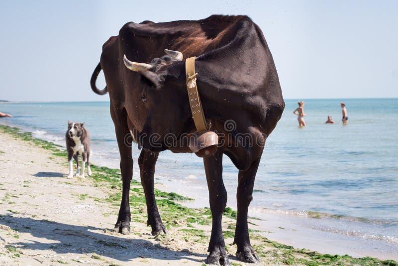 De dorstige binnenlandse landbouwbedrijf rode zwarte koe loopt op overzeese kuststrandkustlijn onder mensen en honden stock fotografie