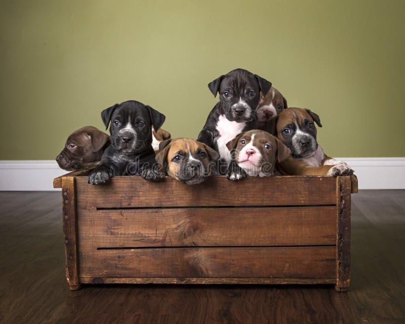 De draagstoel van puppy in houten doos in studio met houten vloer toont stock afbeeldingen