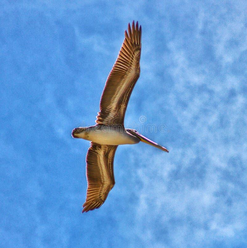 De draagwijdte van de pelikaanvogel royalty-vrije stock afbeeldingen