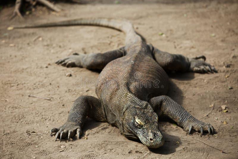 De Draak van Komodo stock afbeelding
