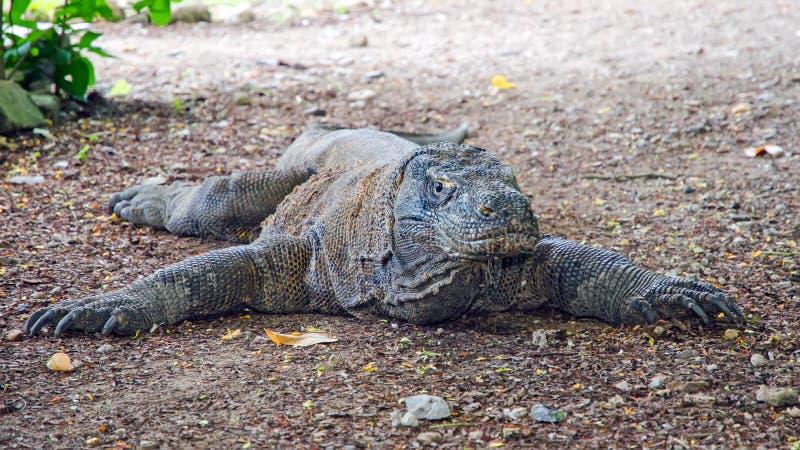De Draak van Komodo indonesië EILAND KOMODO stock fotografie