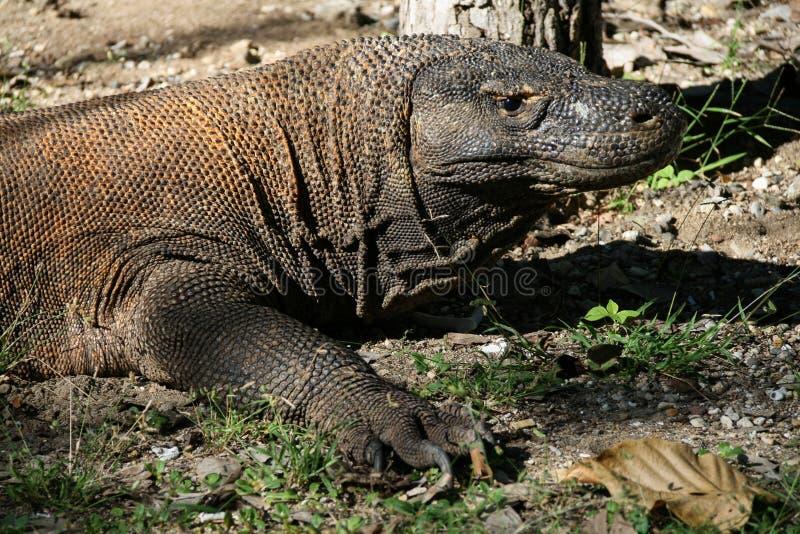 De Draak van Komodo (komodoensis Varanus) stock fotografie