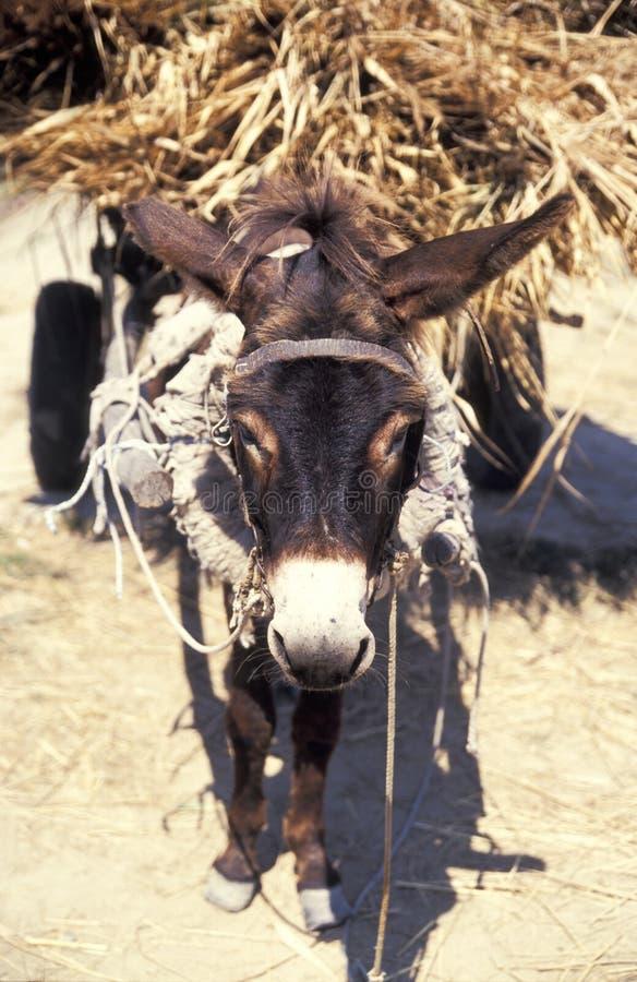 De dragende levering van de ezel royalty-vrije stock afbeeldingen