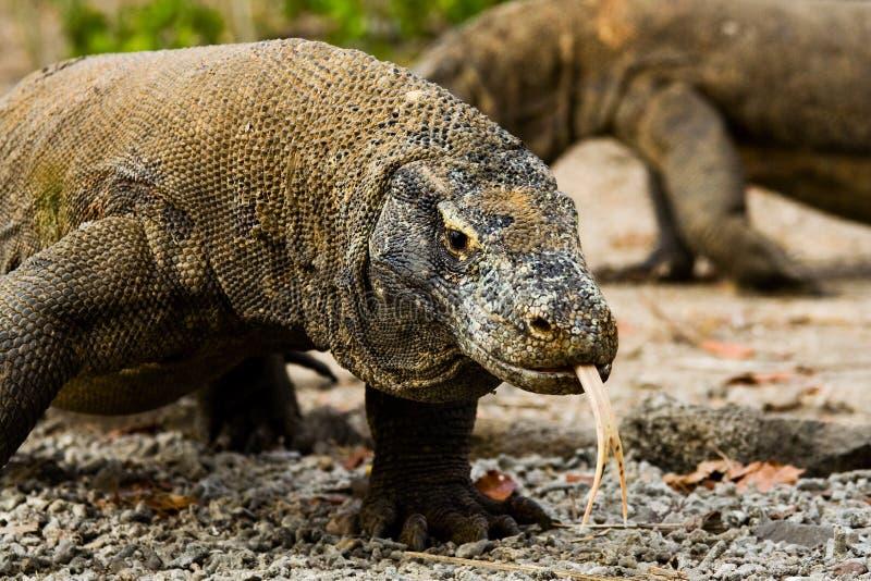 De Draken van Komodo zoeken Voedsel royalty-vrije stock afbeeldingen