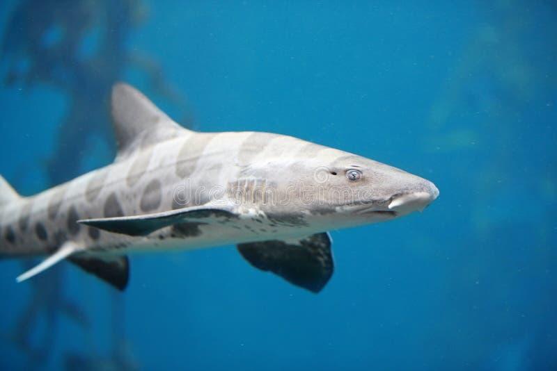 De dreigende Haai van de Luipaard royalty-vrije stock afbeeldingen
